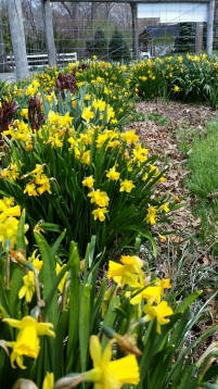 Daffodils with peonies growing in between