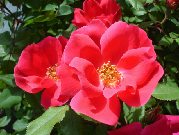 Pink roses in sunshine