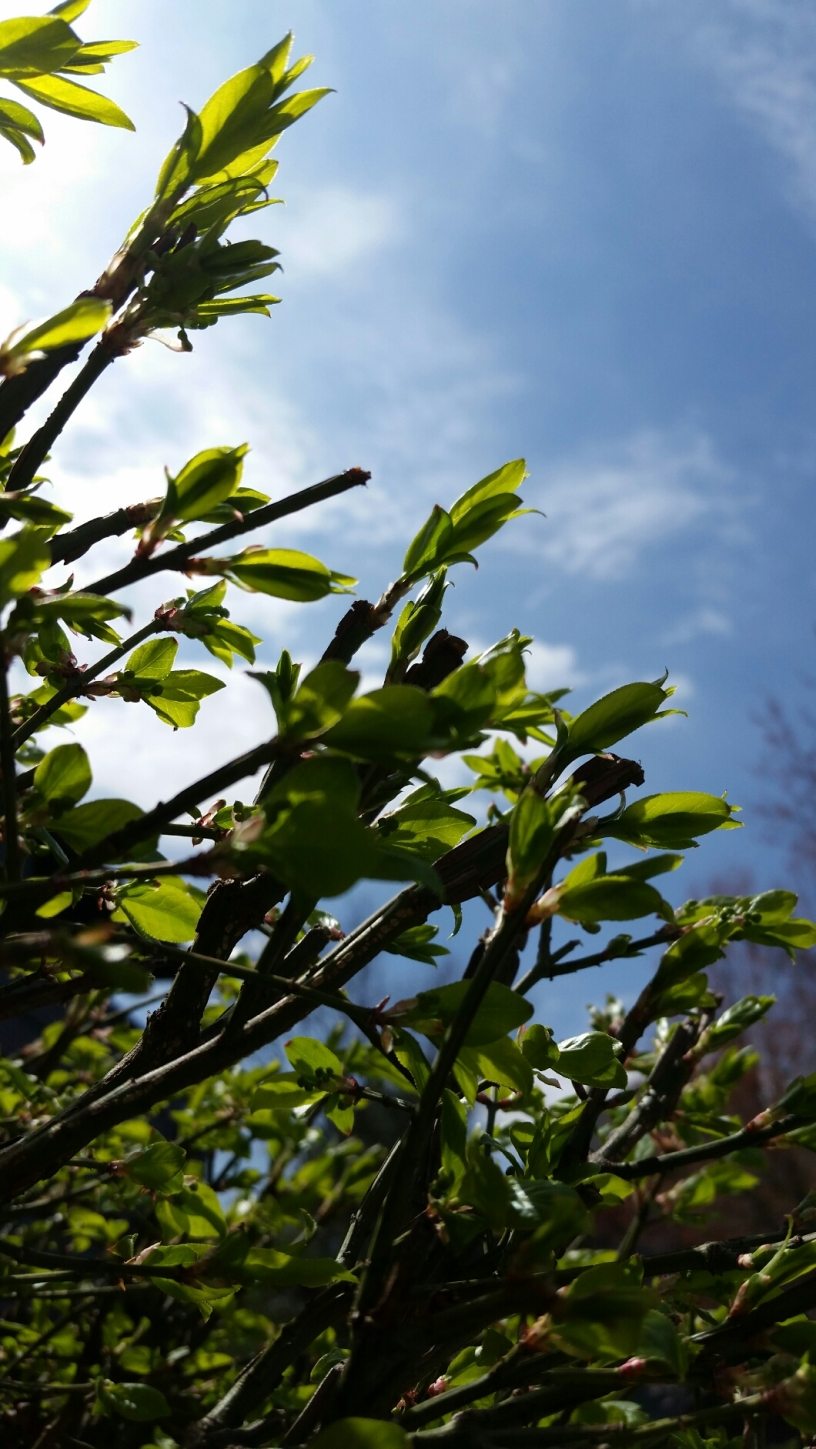 Young green leaves of spring on a bush reaching toward the sun and blue sky
